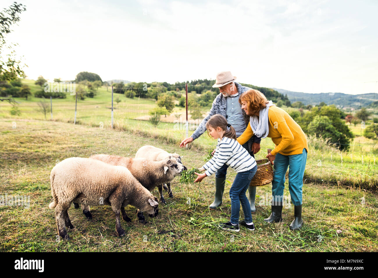 Senior couple with granddaughter feeding sheep on the farm. - Stock Image