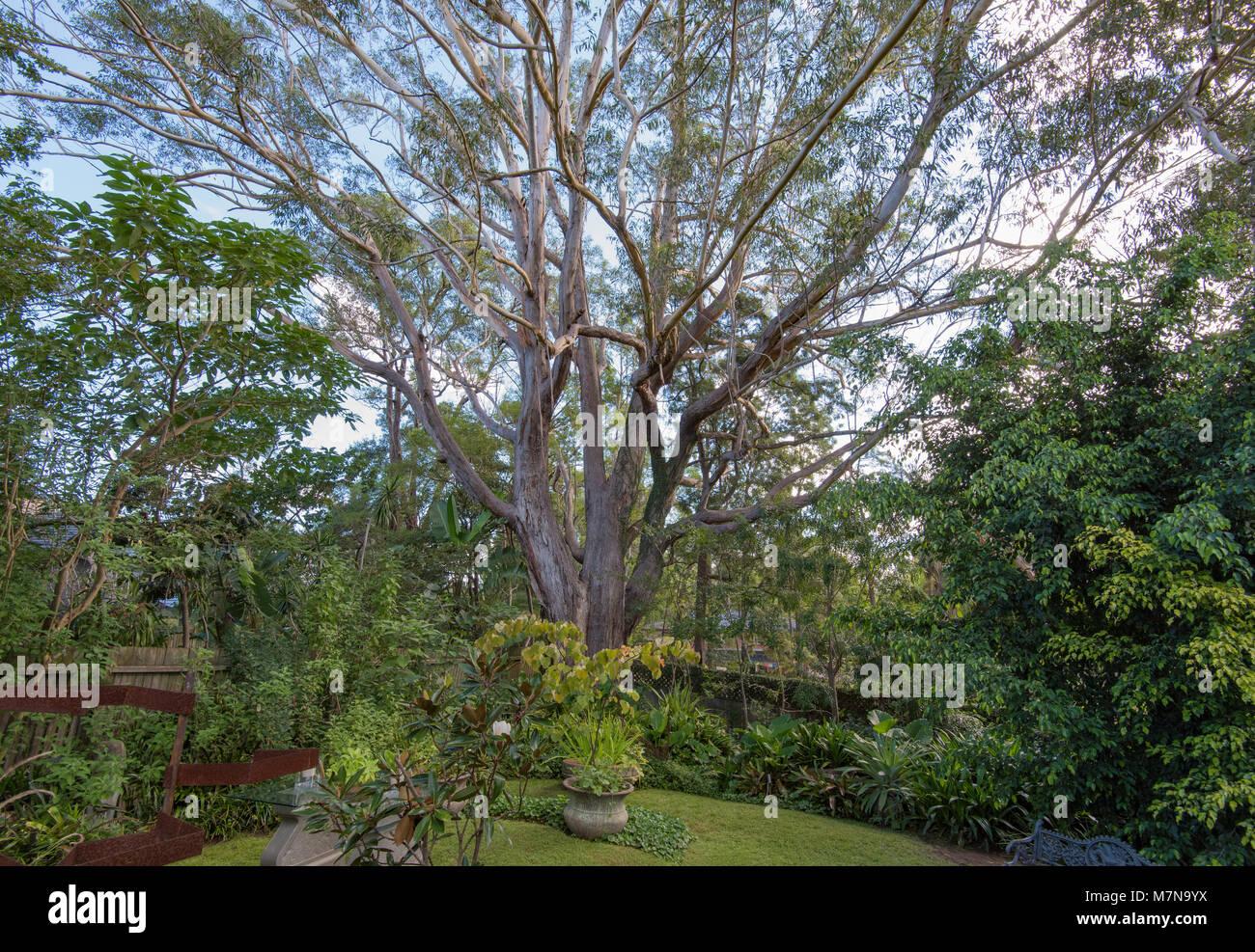 Flowering Gum Trees Stock Photos & Flowering Gum Trees