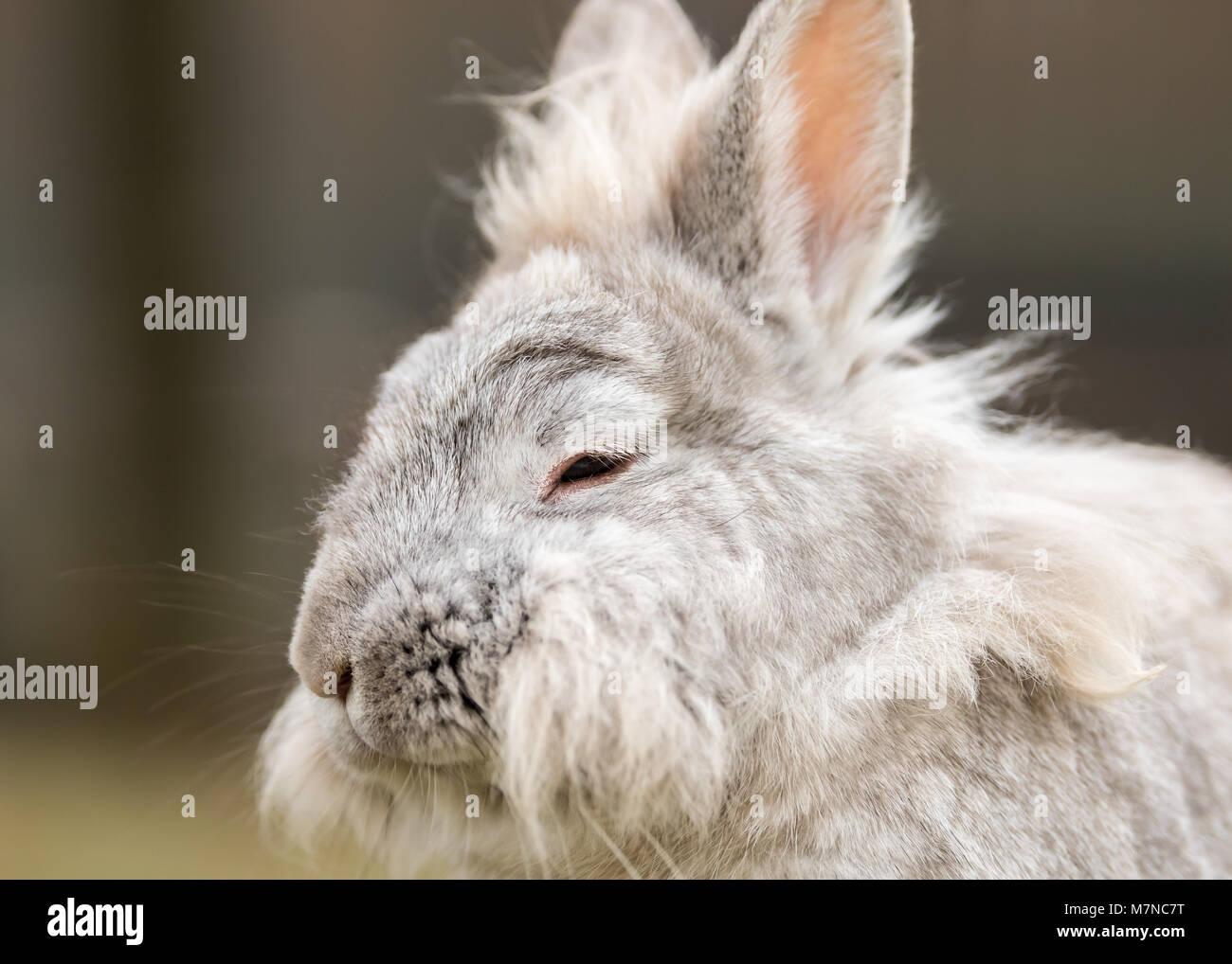 A portrait of a white dwarf rabbit (lions head) Stock Photo
