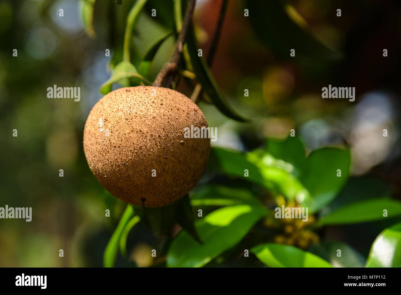 Images Of Sapota Fruit