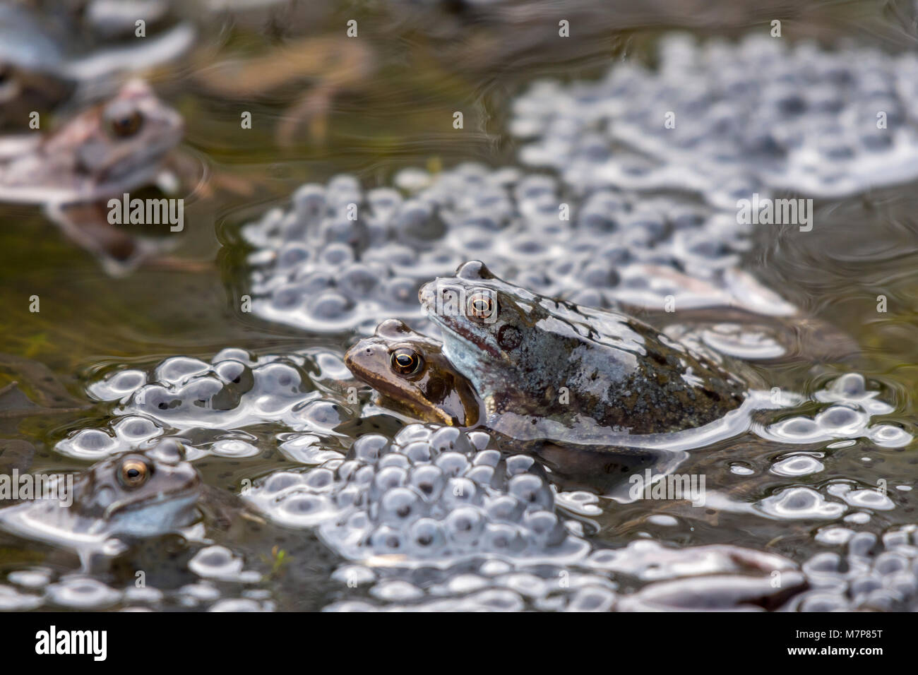 Commons Frogs mating in a garden pond producing frog spawn - Stock Image