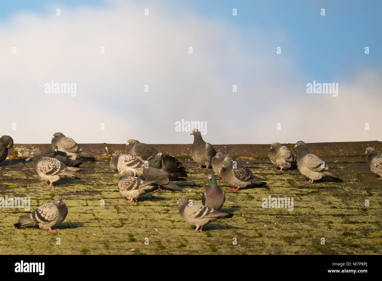 racing pigeons on rooftop with blue cloudy sky in background - Stock Image