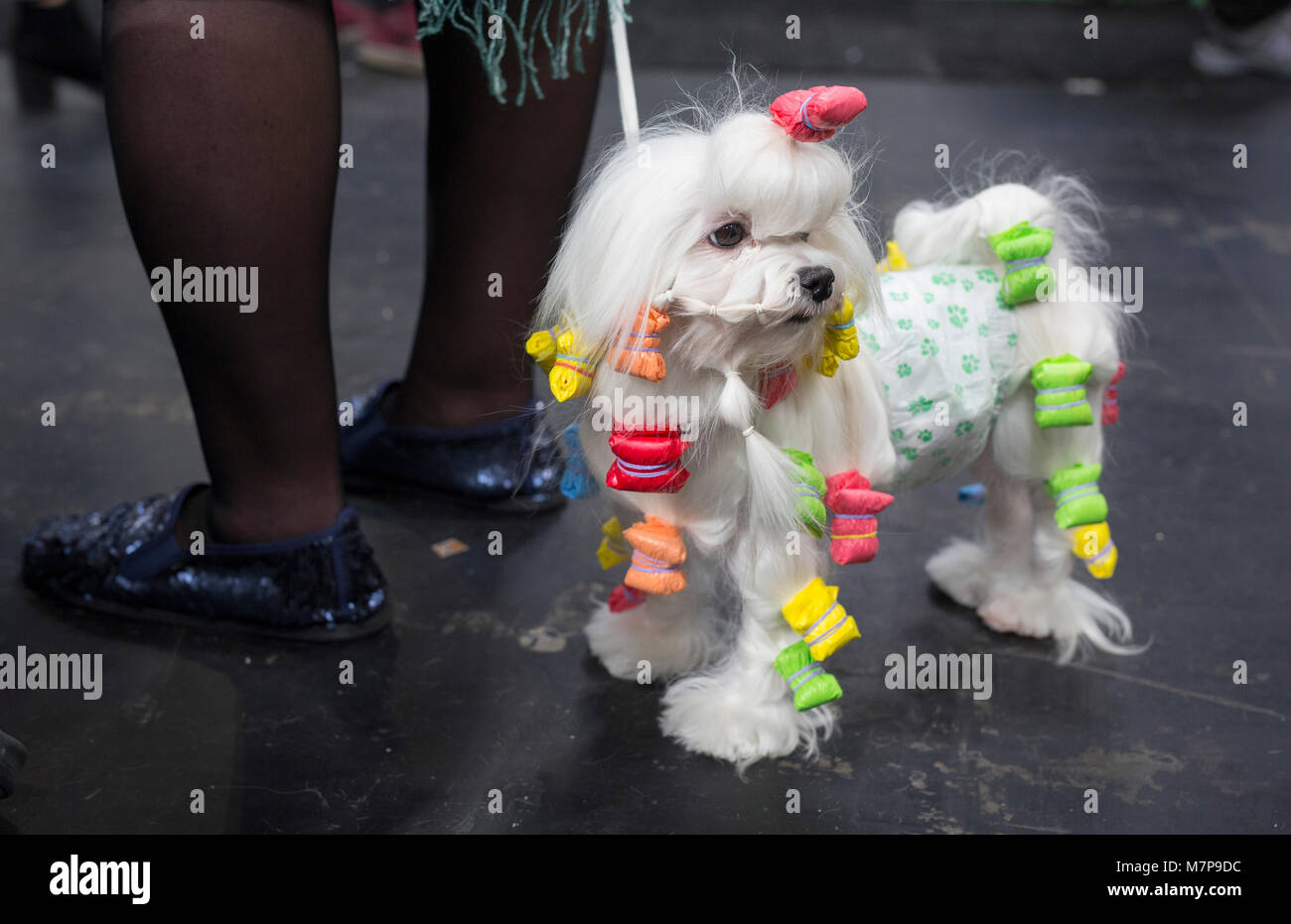 A Maltese prepared for the judging ring at Crufts, the worlds largest dog show. It takes place every year in Birmingham, - Stock Image