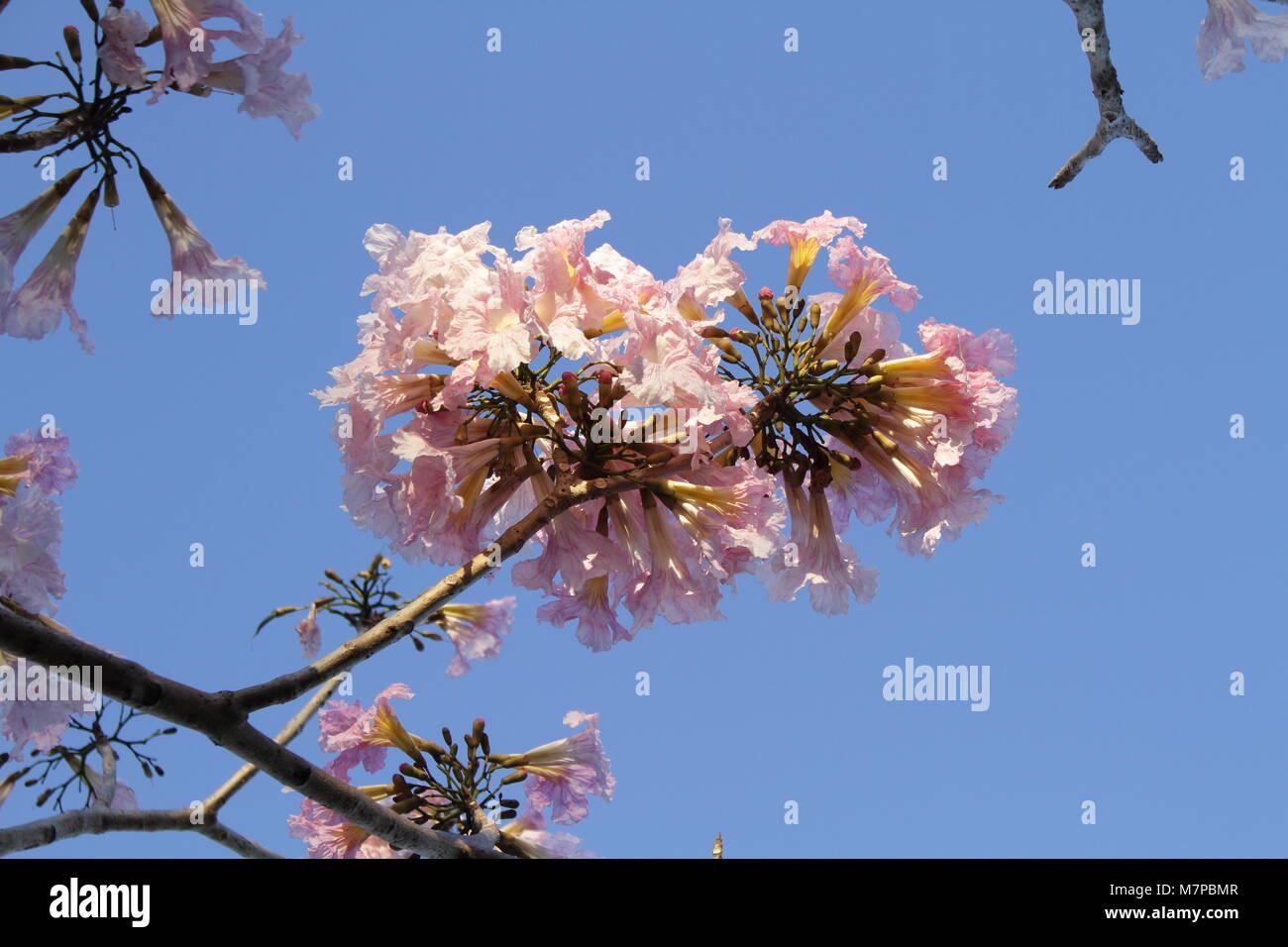 Tabebouia rosea - Stock Image