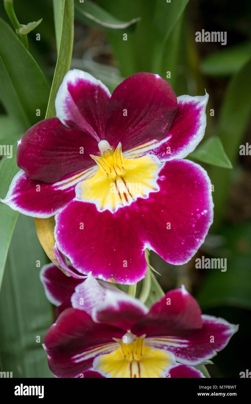 Moth orchid (Phalaenopsis) - Stock Image