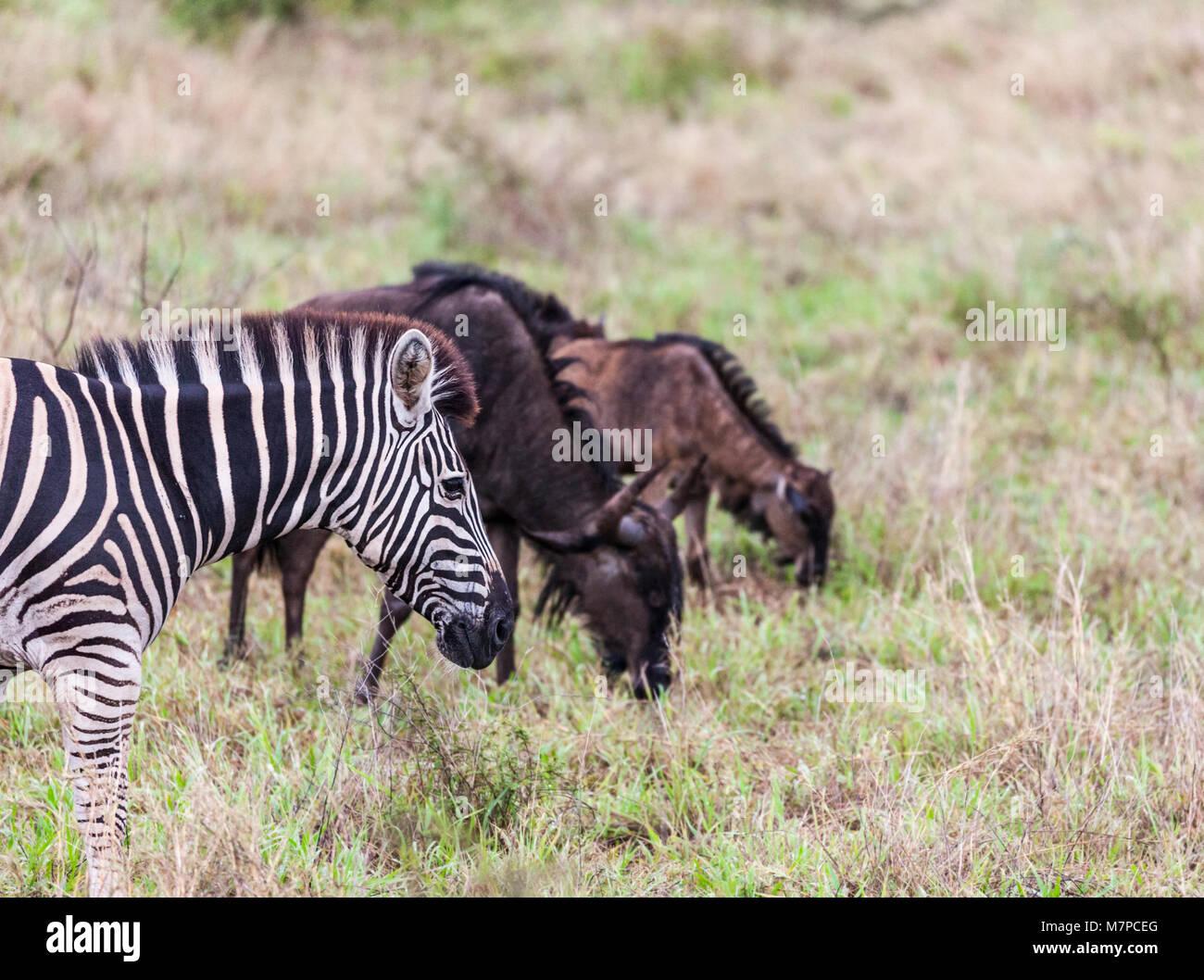 Burchell's Zebra, Equus quagga burchellii, and Blue Wildebeest, Connochaetes taurinus, mother and calf in Kruger Stock Photo