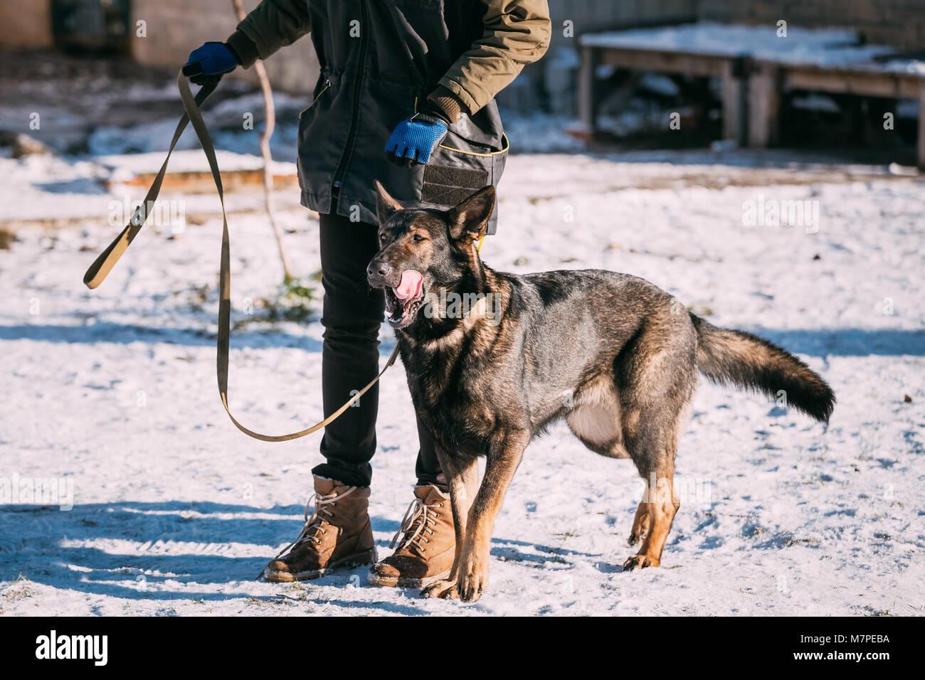 German Shepherd Dog Near Owner During Training. Winter Season. Training Of Purebred Adult Alsatian Wolf Dog - Stock Image