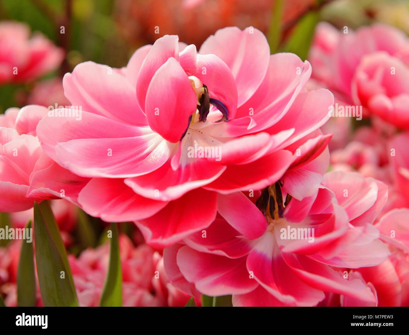 Tulip Columbus, reddish-pink edged white - Stock Image