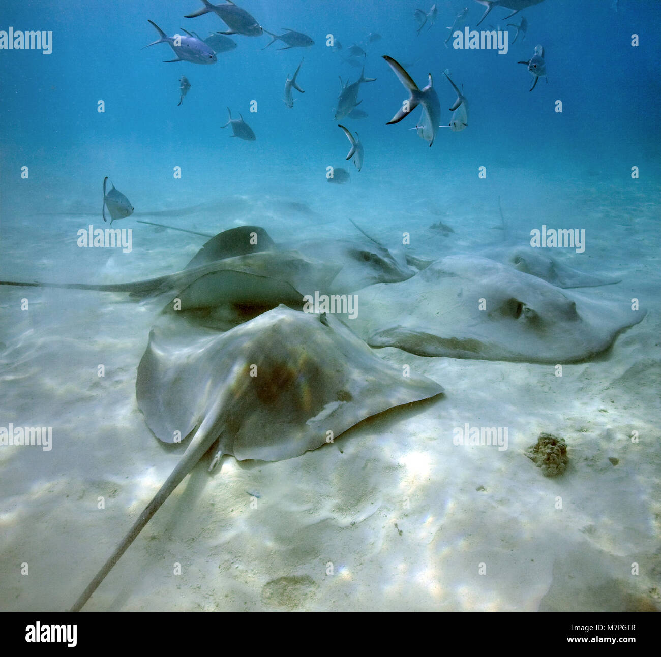 Blackspotted Darts, Small spotted darts (Trachinotus baillonii) swimming over a group Jenkins whiprays (Himantura - Stock Image