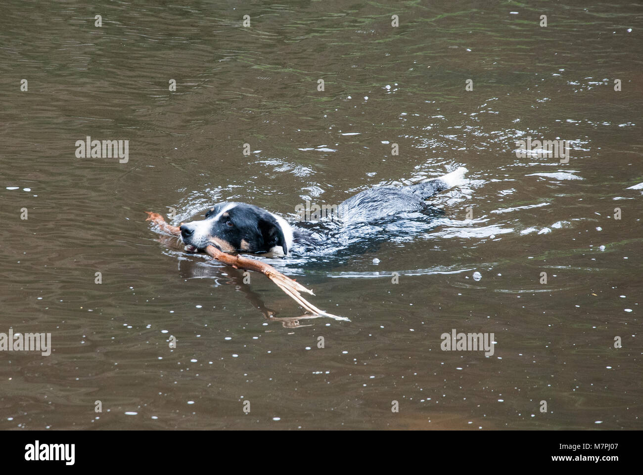 A dog retrieves a branch that has been thrown into the Yarra River at Warrandyte, Melbourne, Australia - Stock Image