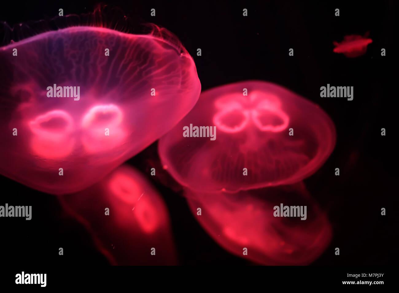 Multicolored jellyfish swim under water - Stock Image