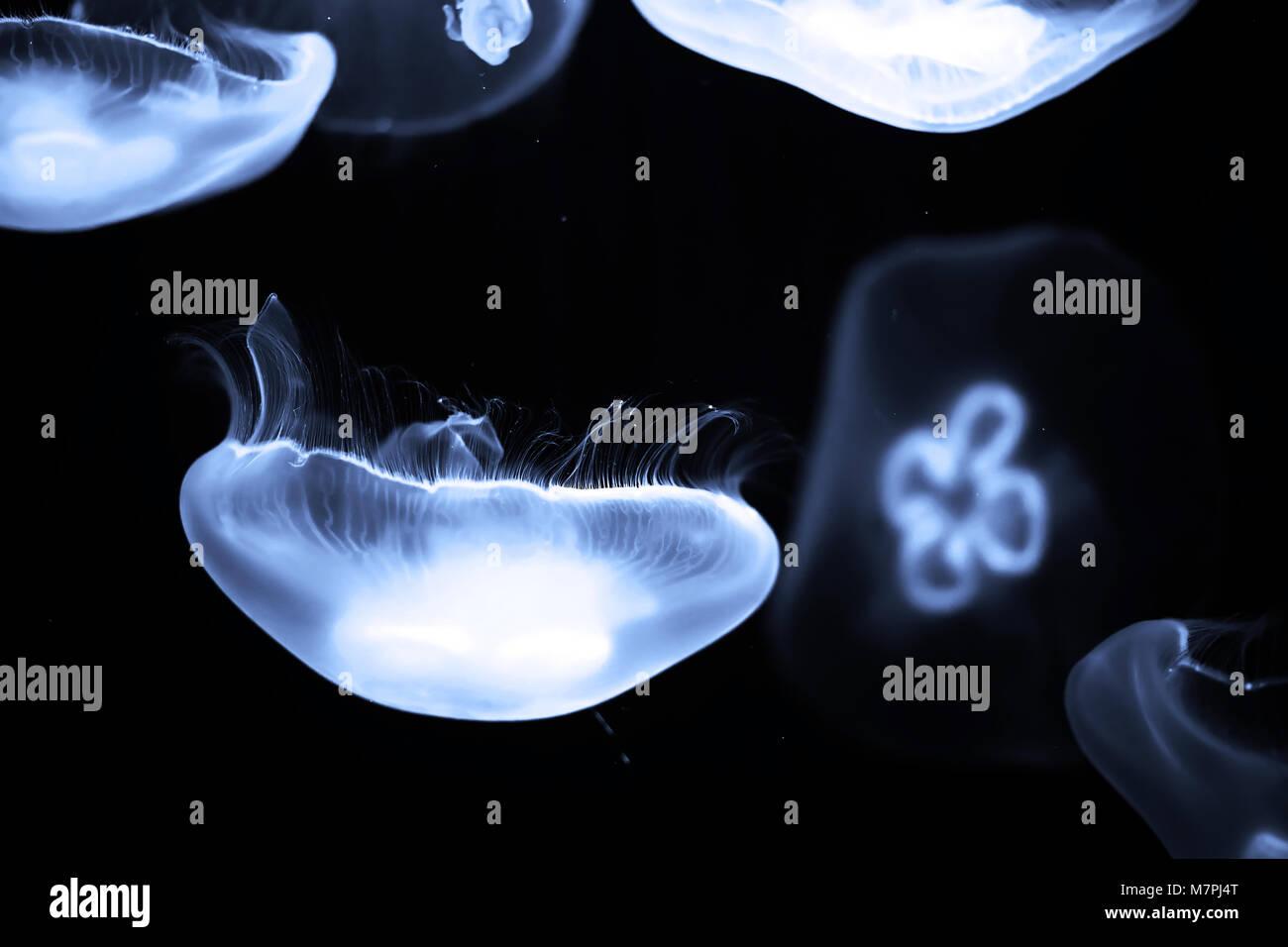 Blue jellyfish swim under water - Stock Image