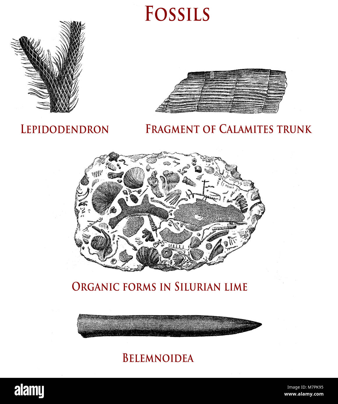vintage illustration of fossils:  lepidodendron, calamites, organic forms in Silurian lime and belemnoidea Stock Photo