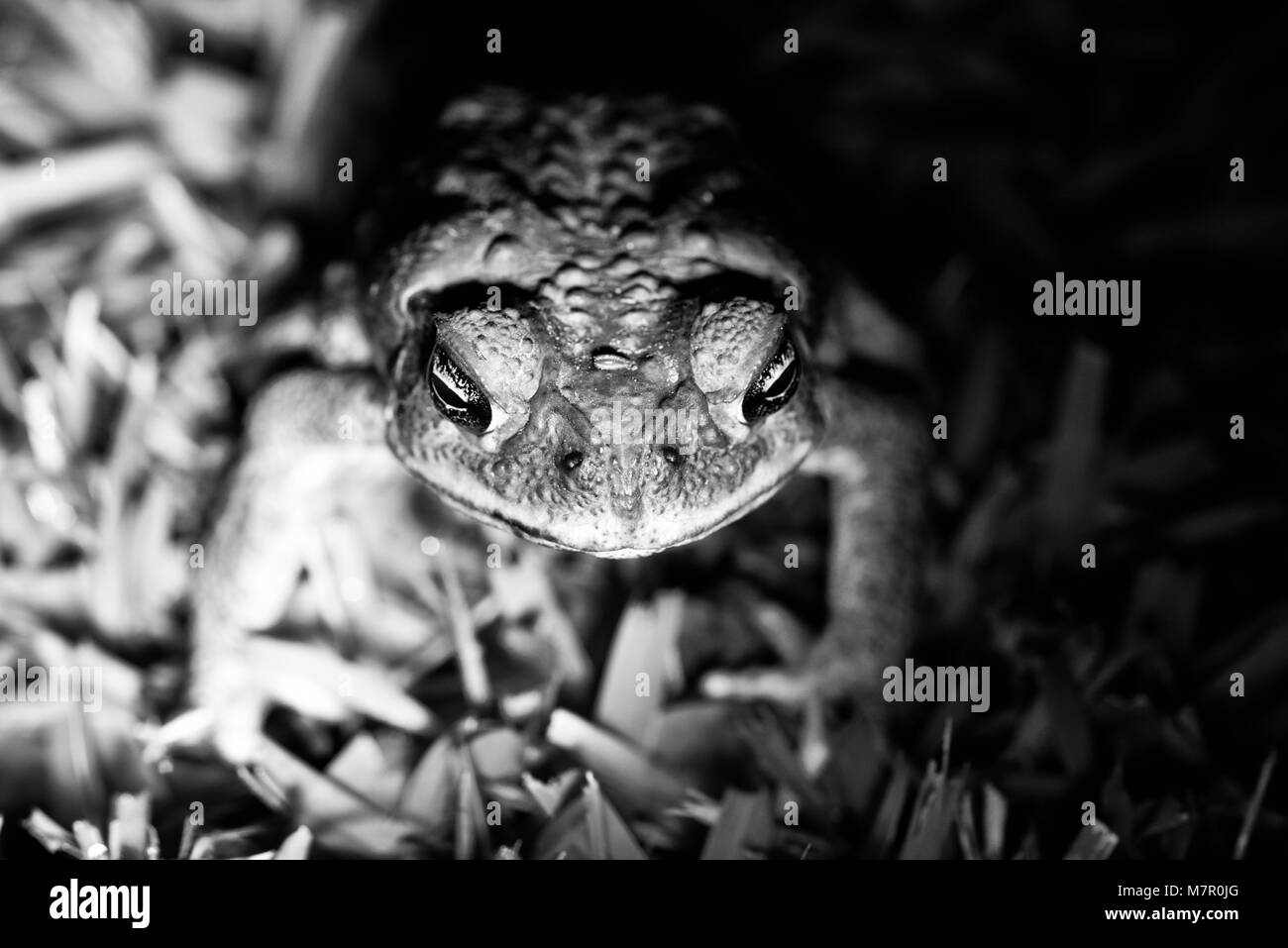Image of cane toad Rhinella marina at night in Townsville Queensland Australia - Stock Image