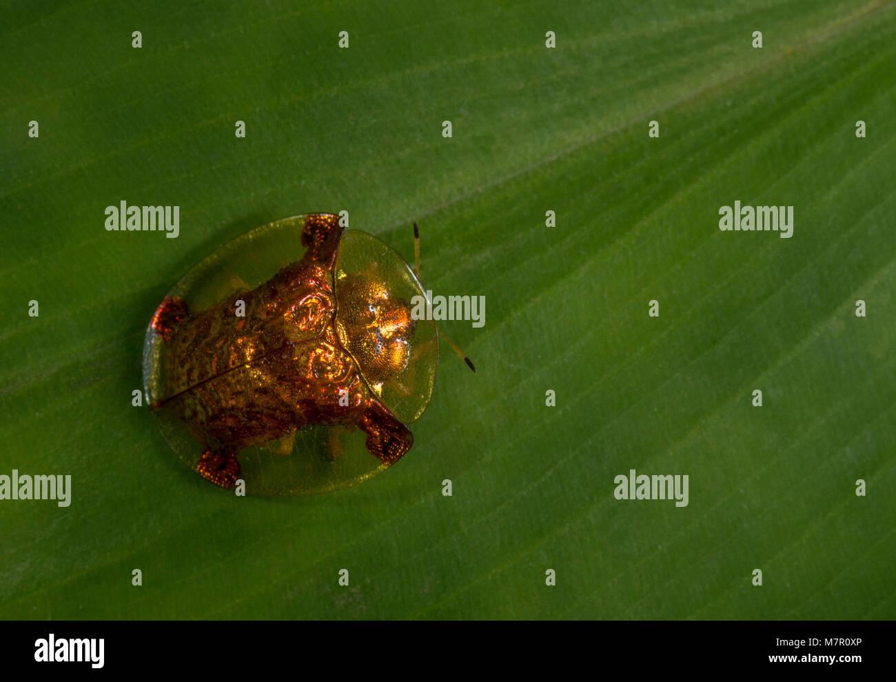 Tortoise Beetle seeen at Pawna lake Stock Photo