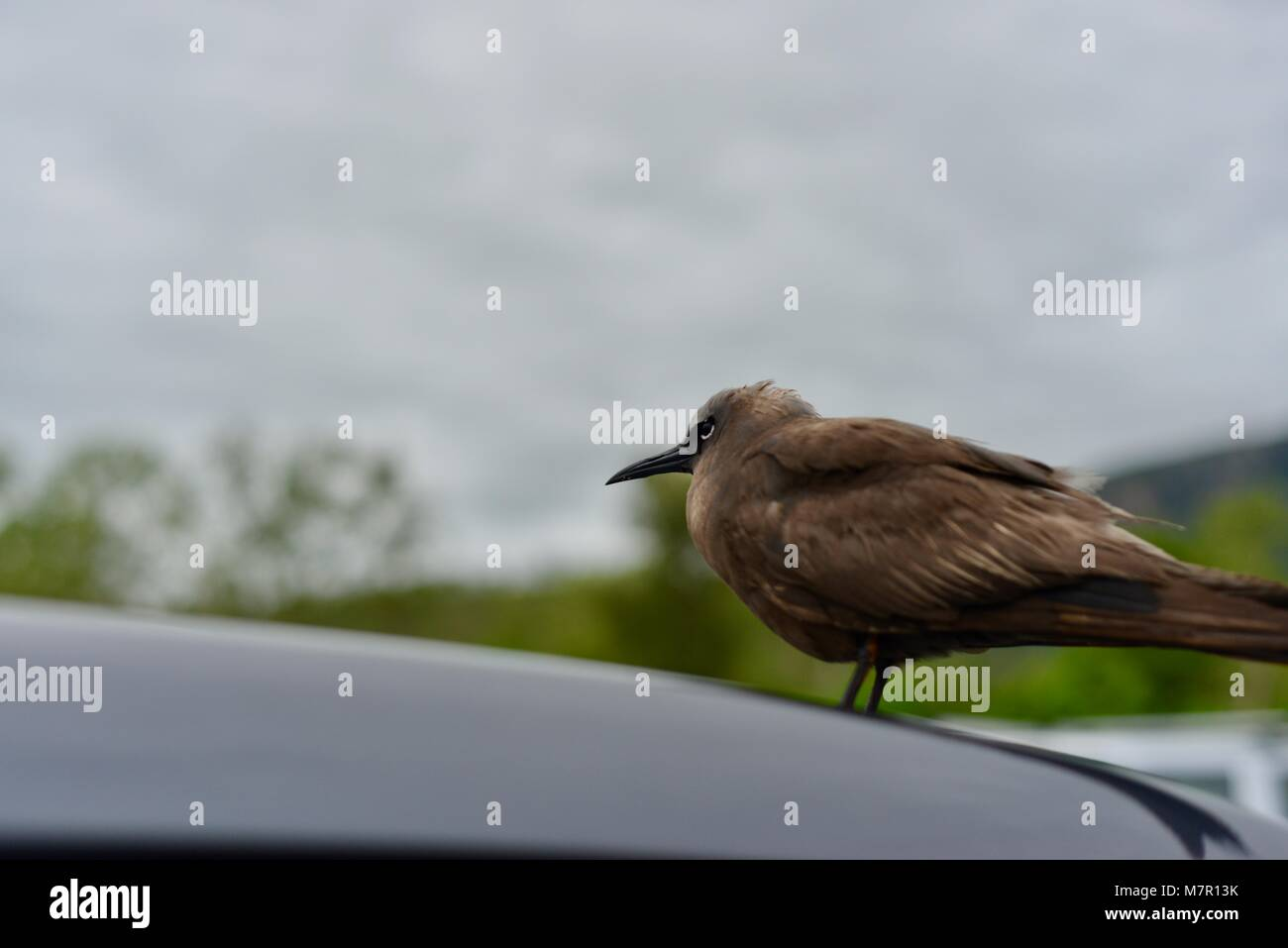 Common noddy or brown noddy Anous stolidus juvenile resting on a car away from the sea after rough weather and storms - Stock Image