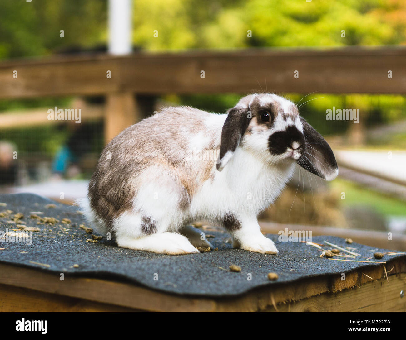 Rabbit in its natural environment in Sweden. Cute bunny outdoors on its house, autumn or spring season. Easter concept - Stock Image
