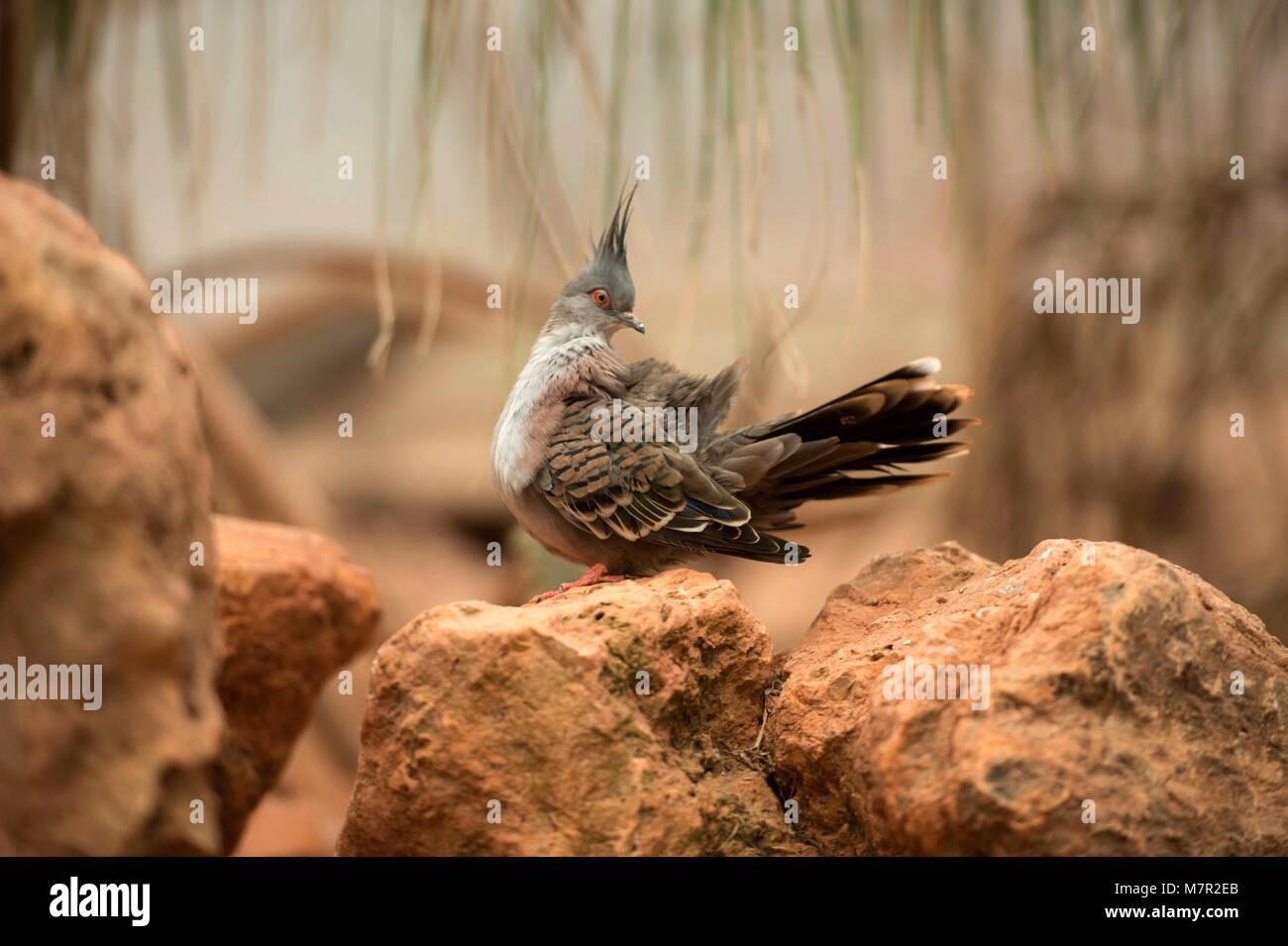 Australian Gems - Diamond Dove (Geopelia cuneata) Portrait Collection - Stock Image