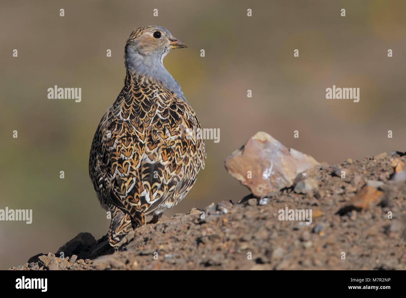 Grey-breasted Seedsnipe - Stock Image