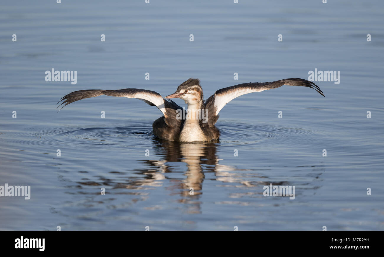 Front view of wild juvenile great-crested grebe (Podiceps cristatus) isolated on water both wings fully extended - Stock Image
