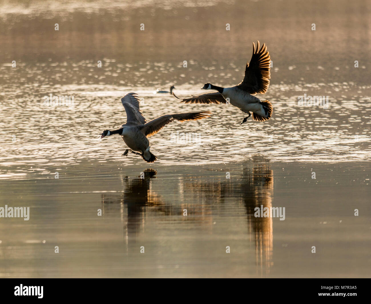 Pair of Brent Geese (Branta) coming in to land on the calm river. - Stock Image