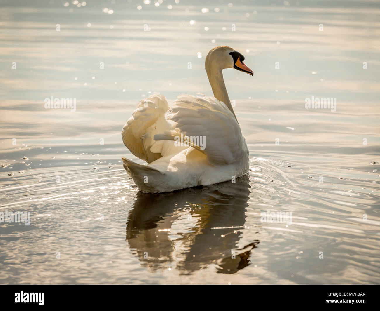 Beautiful Mute Swan (Cygnus olor) bathed in golden sunlight , fanning its wings against the shimmering water. - Stock Image