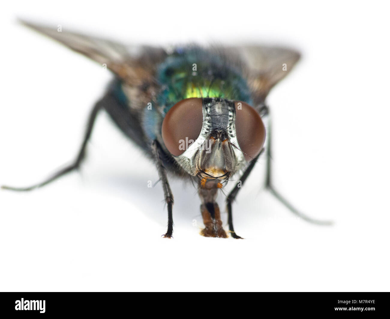 A green bottle fly isolated on a white background - Stock Image