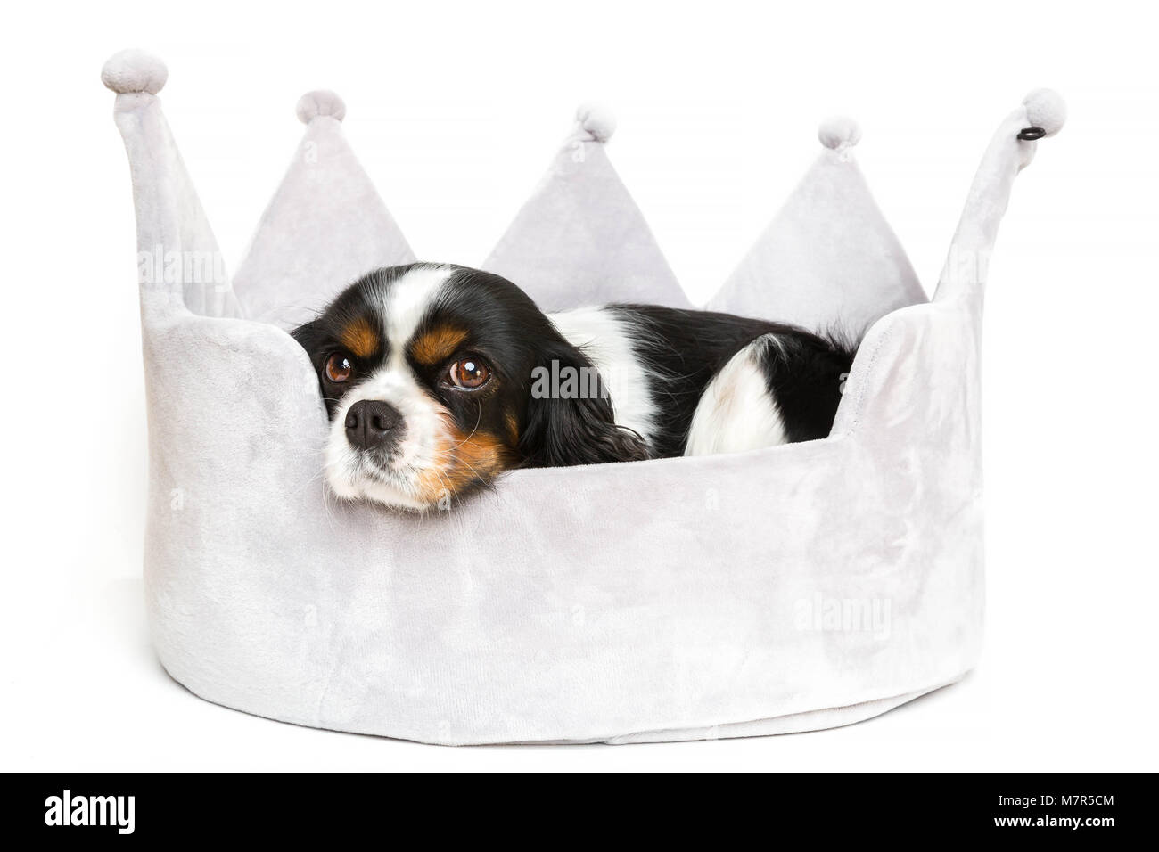 Cute dog resting in comfortable bed, isolated on white background - Stock Image