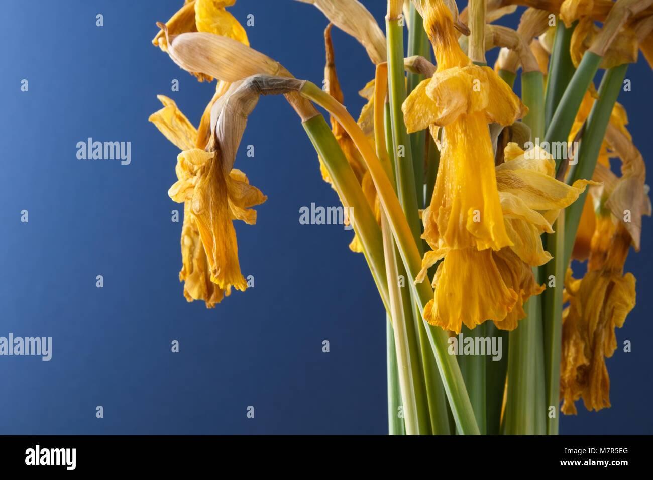 Dead Daffodil Flower Stock Photos Dead Daffodil Flower Stock