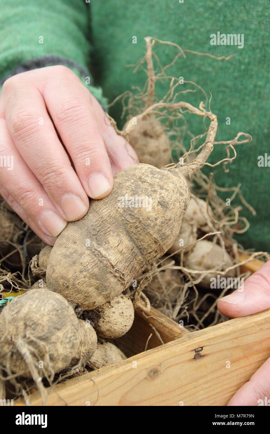 Checking dahlia tubers for rot during over-winter storage. Male gardener, UK. - Stock Image