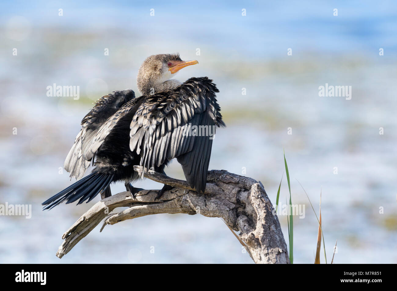 Reed cormorant (Phalacrocorax africanus), sitting on a dead tree and drying the wings, Western cape province, Wilderness - Stock Image