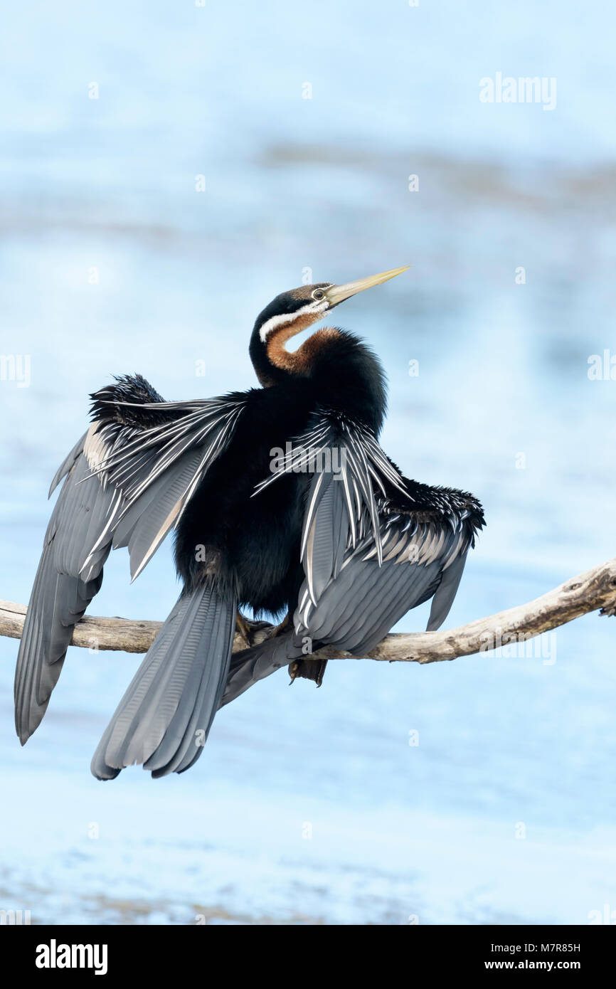 African darter (anhinga rufa) drying his wings, Wilderness National Park, South Africa - Stock Image
