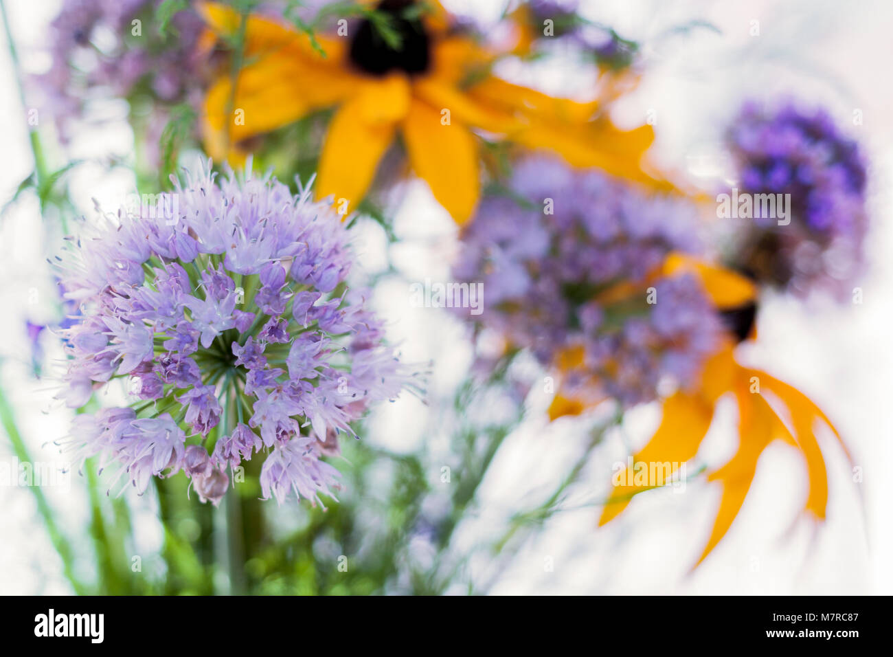 Summer bouquet with lilac decorative onions.  Stock Photo