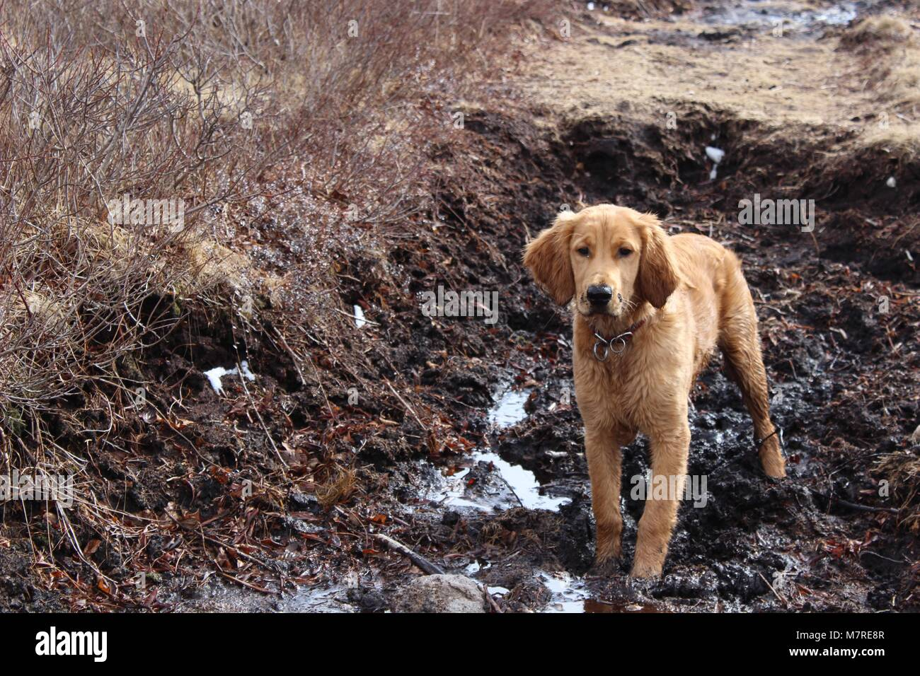 dirty irish golden puppy in the mud - Stock Image