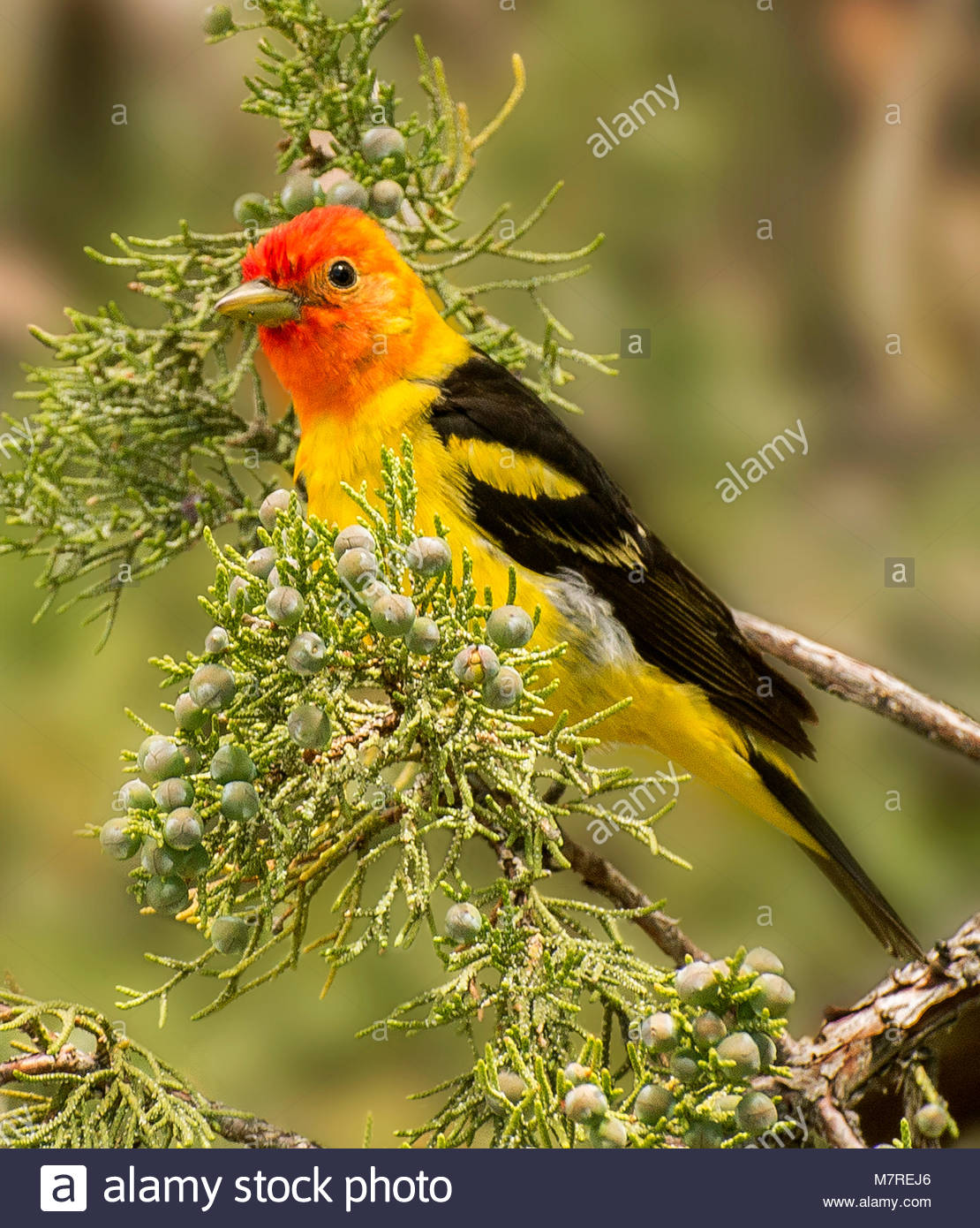 Western Tanager, Lava Beds National Monument, California - Stock Image