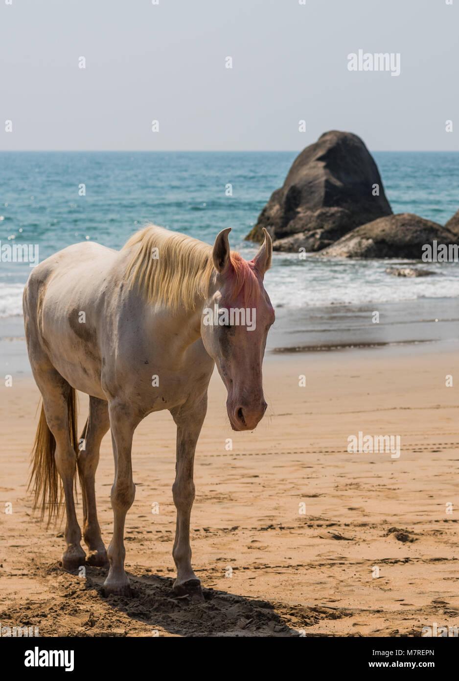 Agonda Beach, Goa/India- March 2 2018: Beautiful Horse smeared by with Holi festival color at Agonda Beach in Goa, Stock Photo
