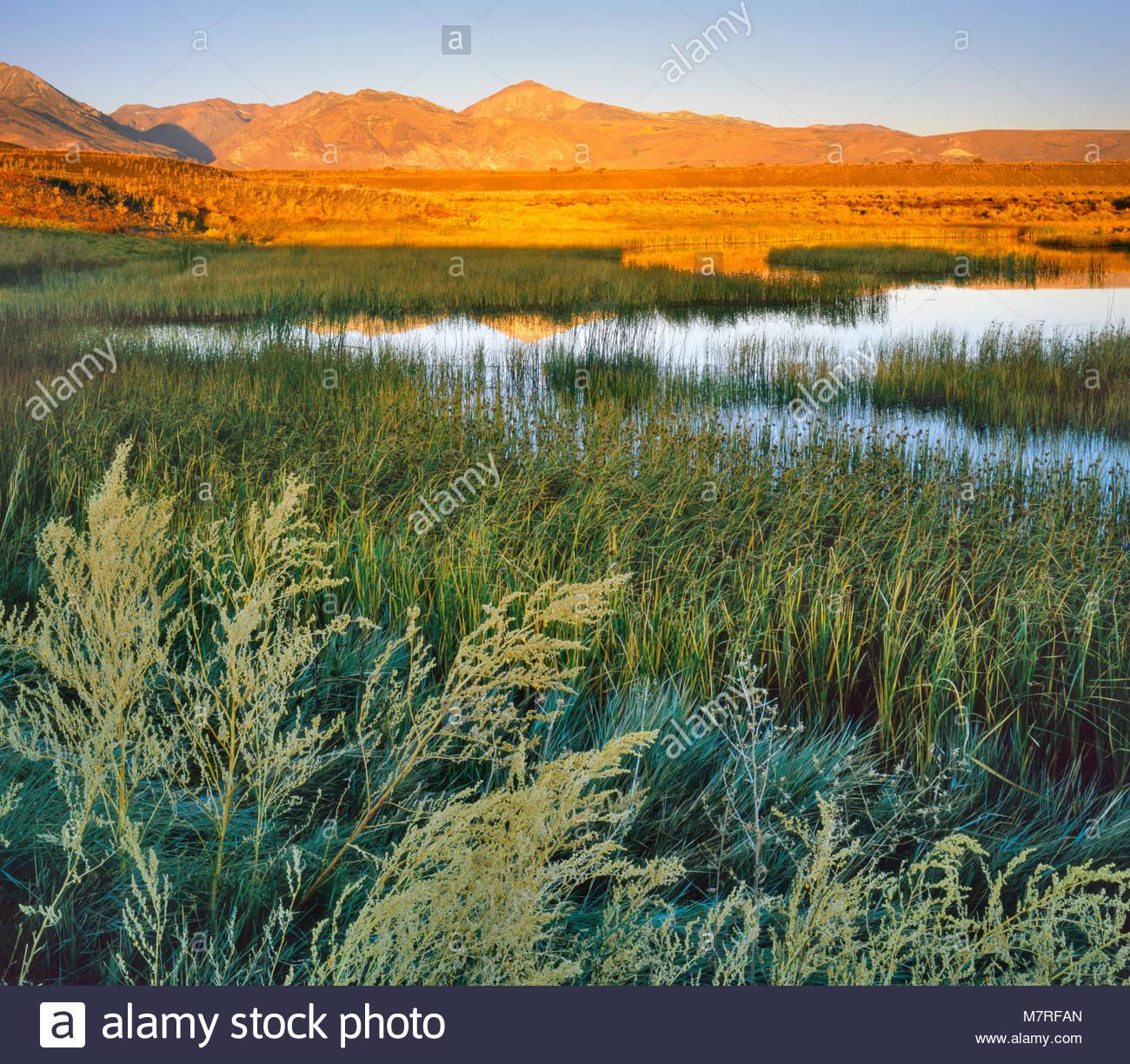 Spring-fed Ponds and Wetlands, DeChambeau Ponds, Mono Lake, Mono Basin National Forest Scenic Area, California - Stock Image