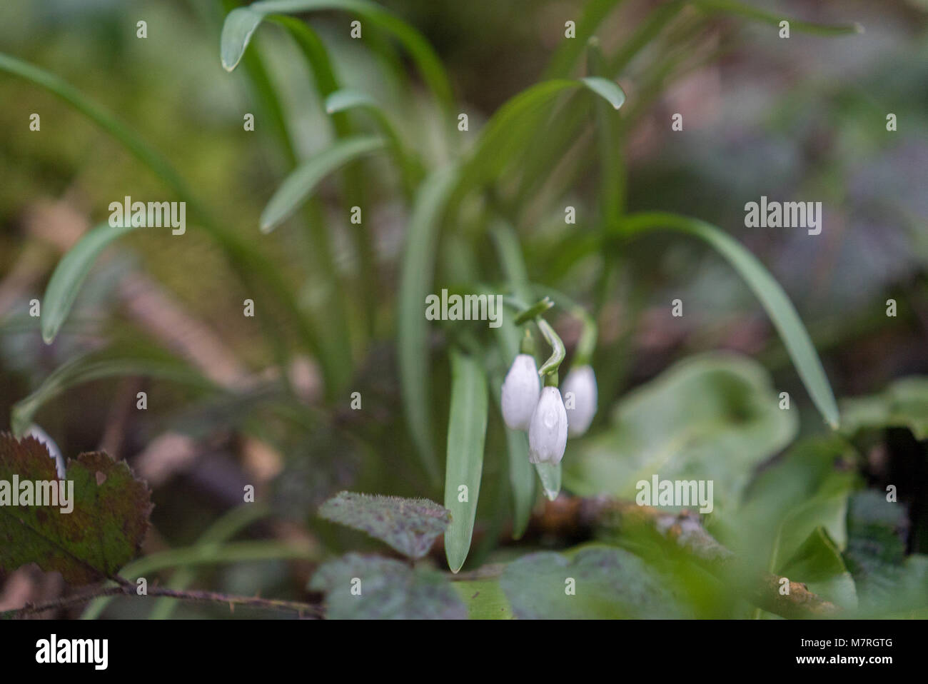 Snowdrop, Galanthus on the damp forest floor in Great Elm, Somerset UK - Stock Image