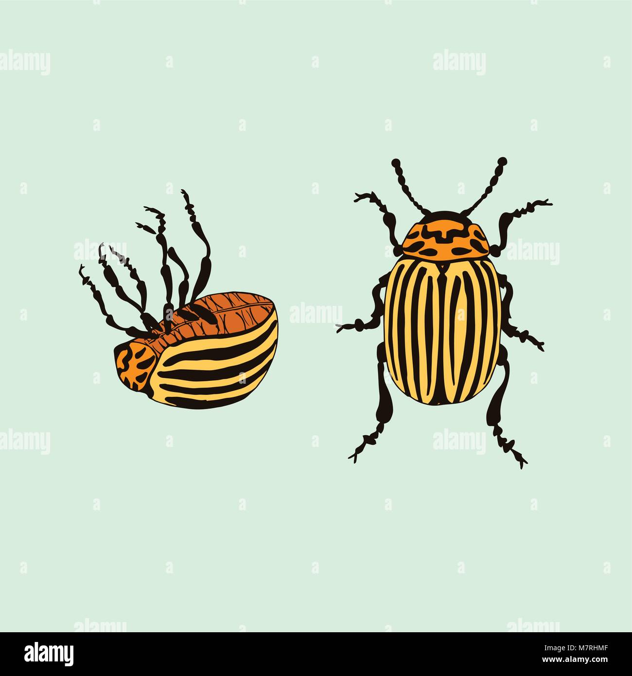 Vector Colorado potato beetle (leptinotarsa decemlineata) - Stock Vector