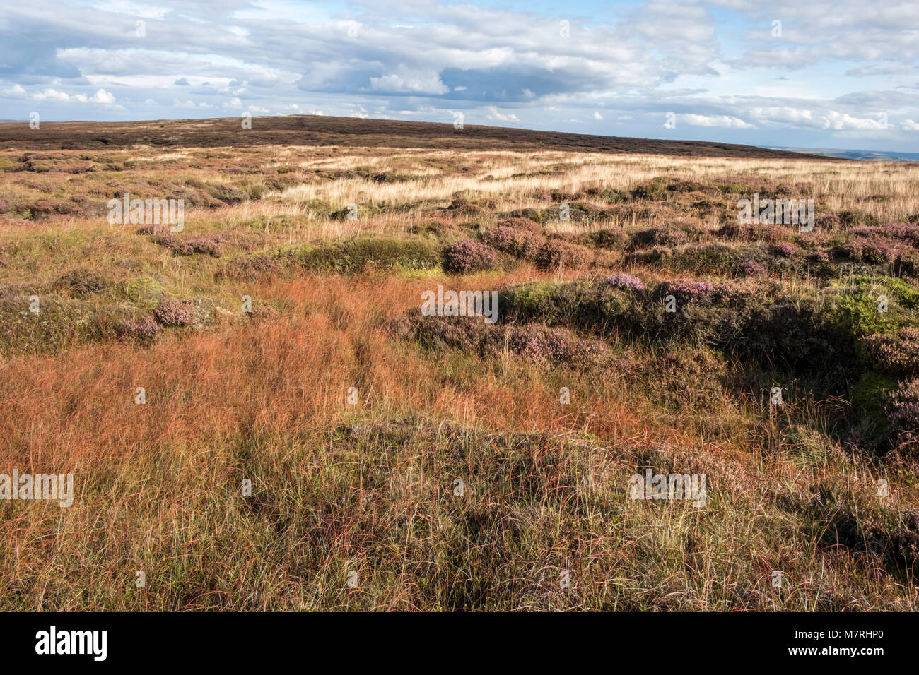 Moorland grass in Autumn on the east side of the Kinder Scout plateau, Derbyshire, Peak District National Park, - Stock Image