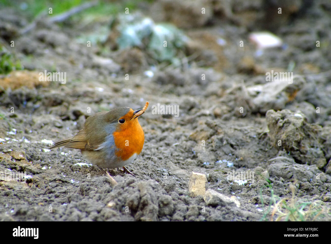 Robin (Erithacus rubecula) eating a meal worm in winter - Stock Image