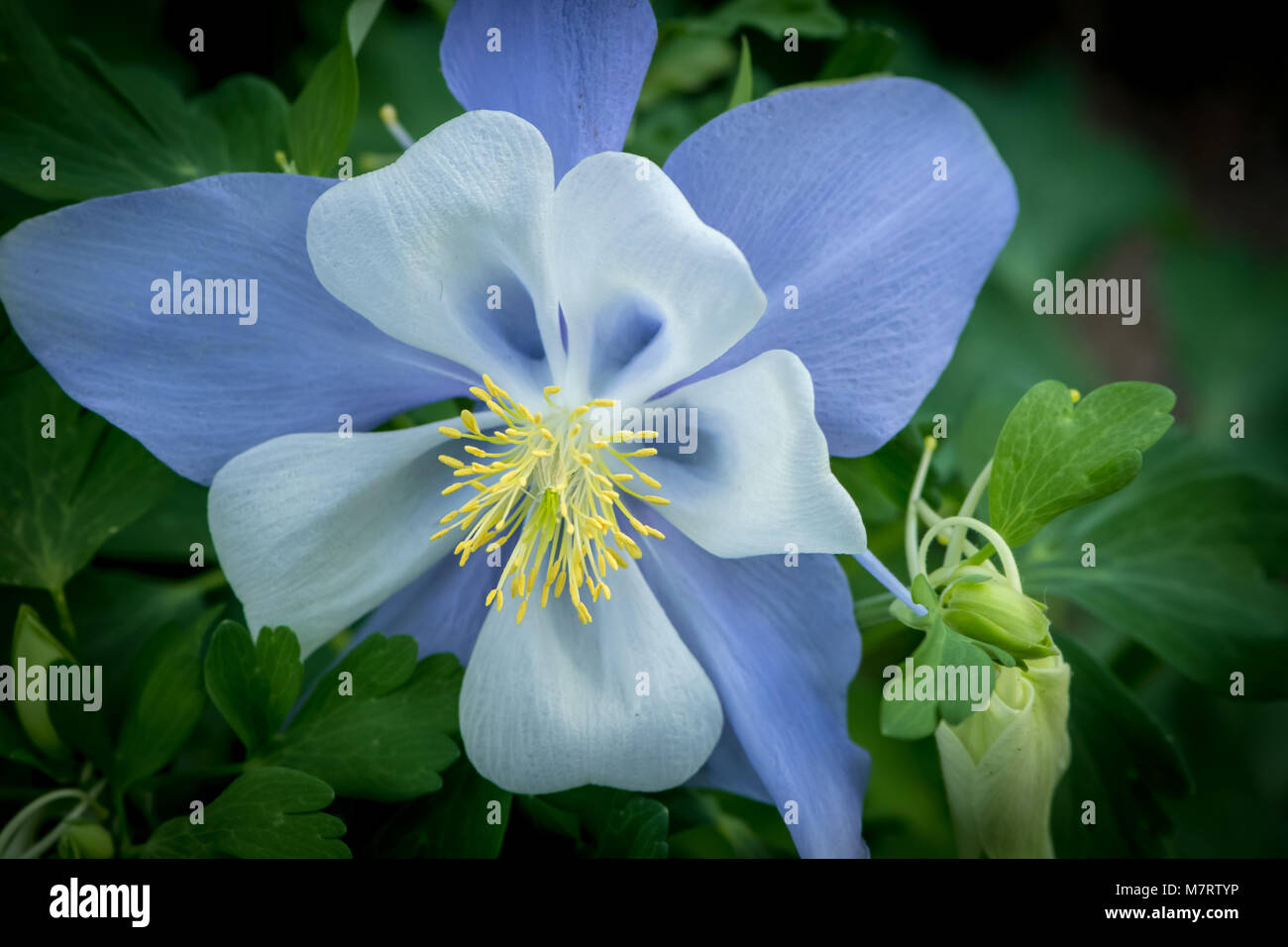 Colorado state flower stock photos colorado state flower stock colorado blue columbine aquilegia coerulea stock image izmirmasajfo