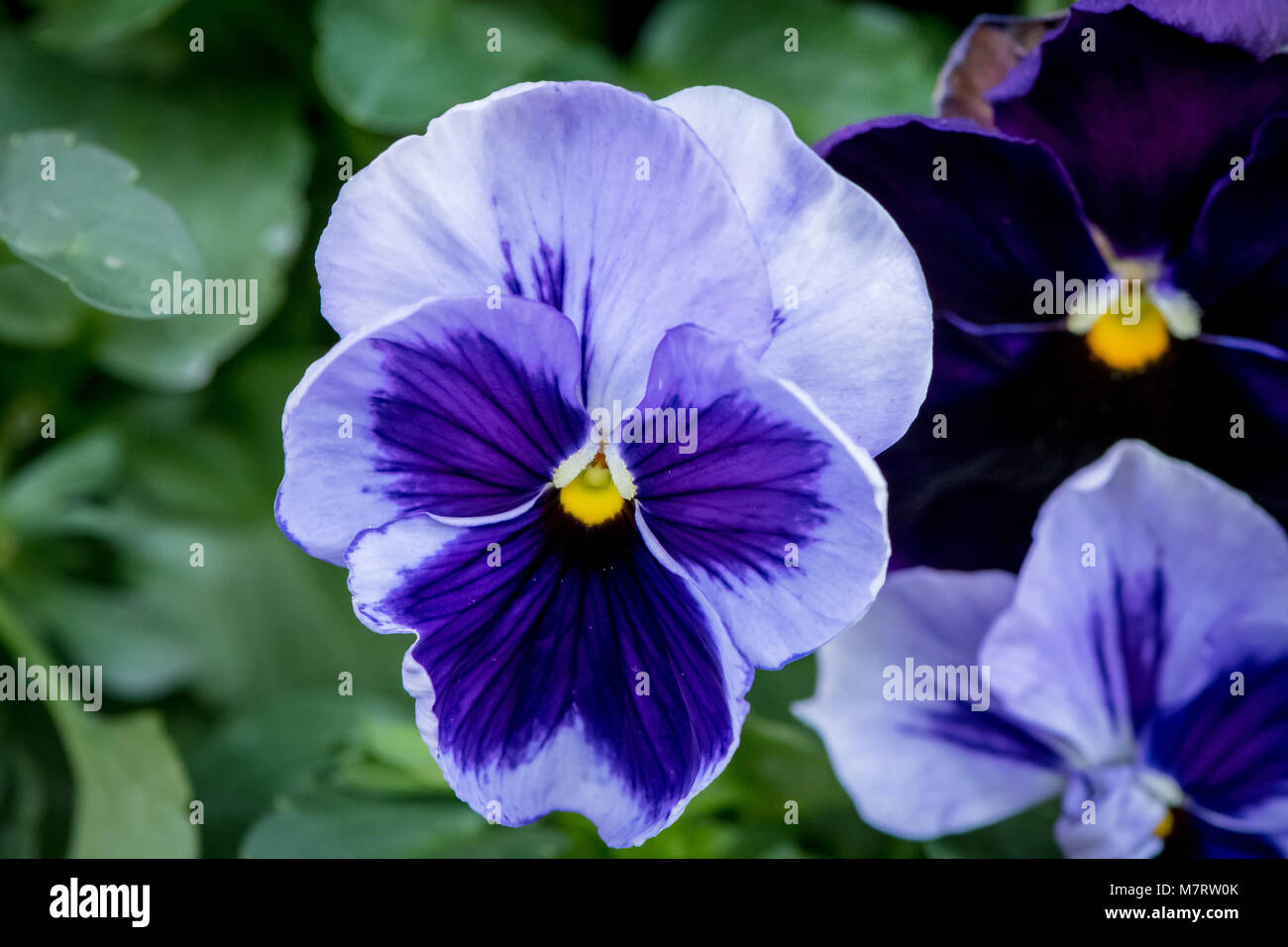 Pansy (viola tricolor) - Stock Image