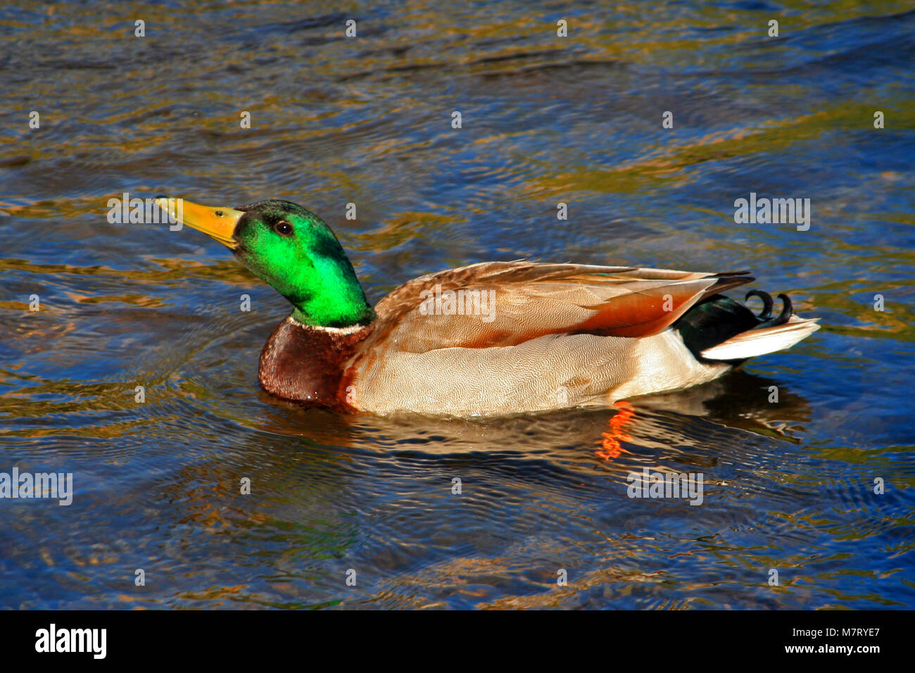 Male Mallard Duck swimming in the Kern River in Kernville at the headwaters of Lake Isabella in southern Sierra Stock Photo