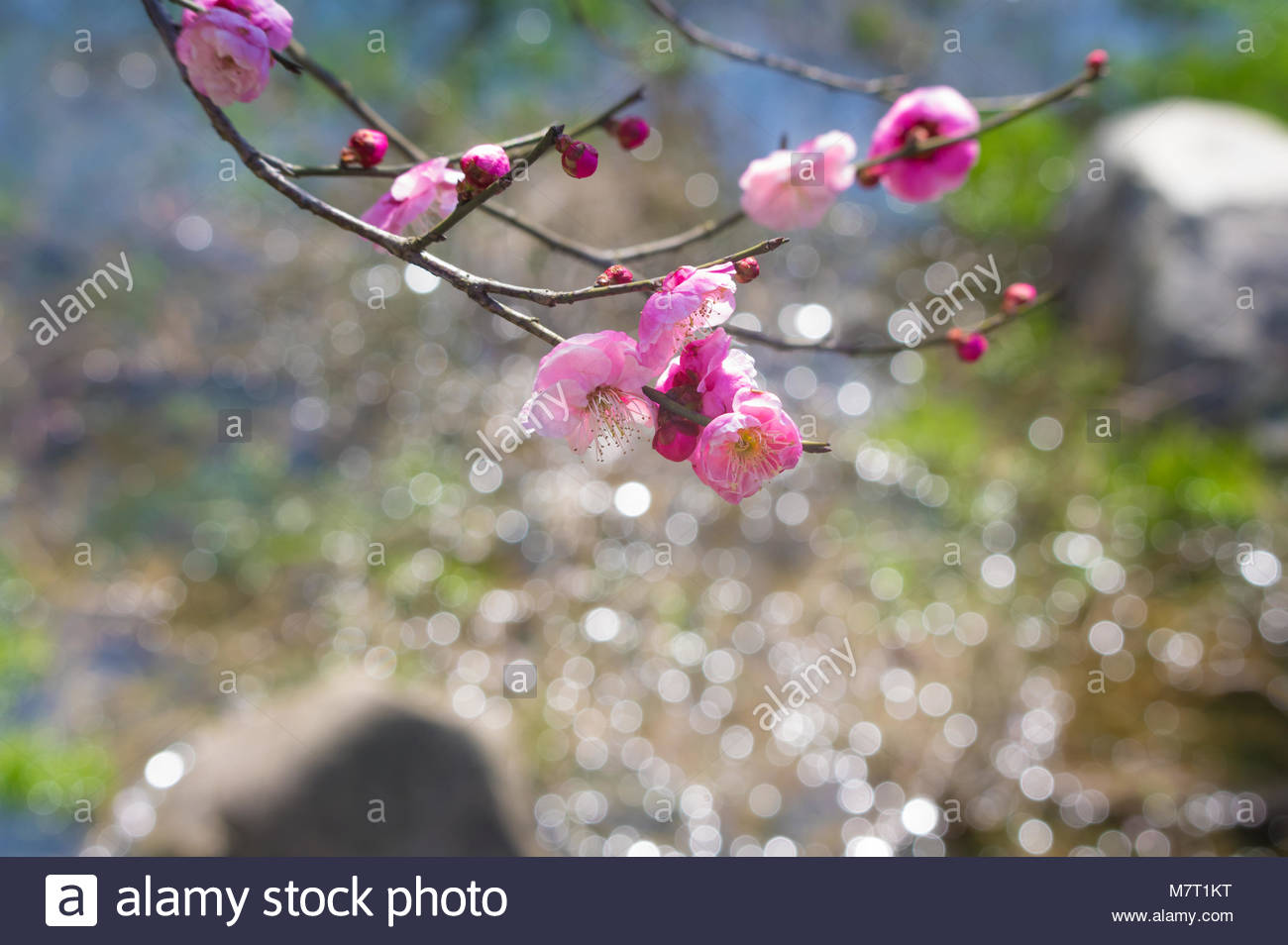 Early spring plum blossom garden in China - Stock Image