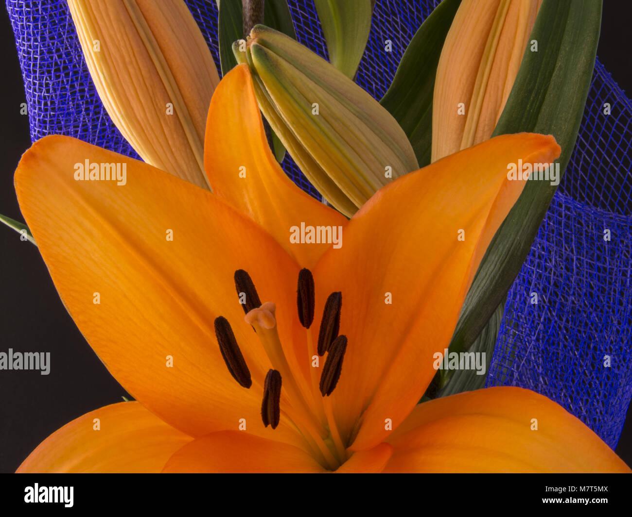 Lilis flower stock photos lilis flower stock images alamy beautiful orange lily flower on black background lilis stock image izmirmasajfo