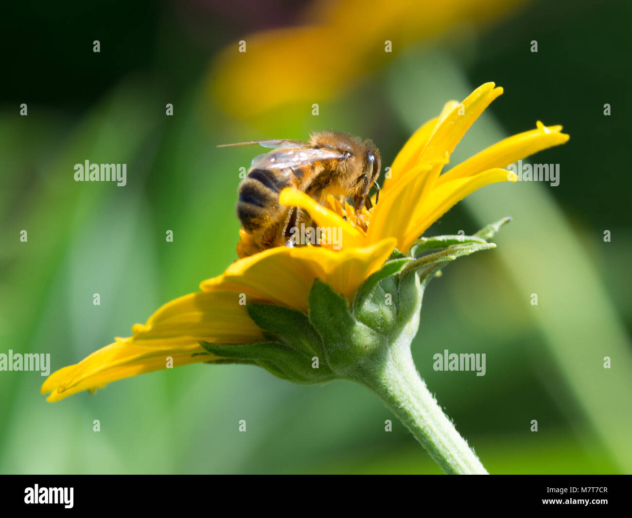 close up of honey bee collecting nectar from a yellow plant - Stock Image