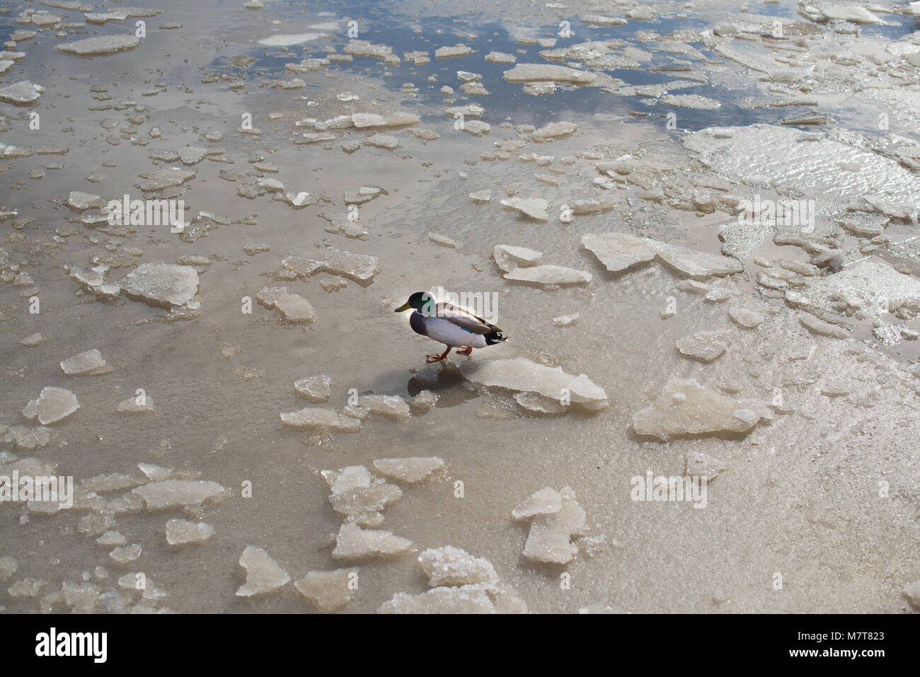 ducks walking on frozen pond wit chuncks of ice on the surface - Stock Image