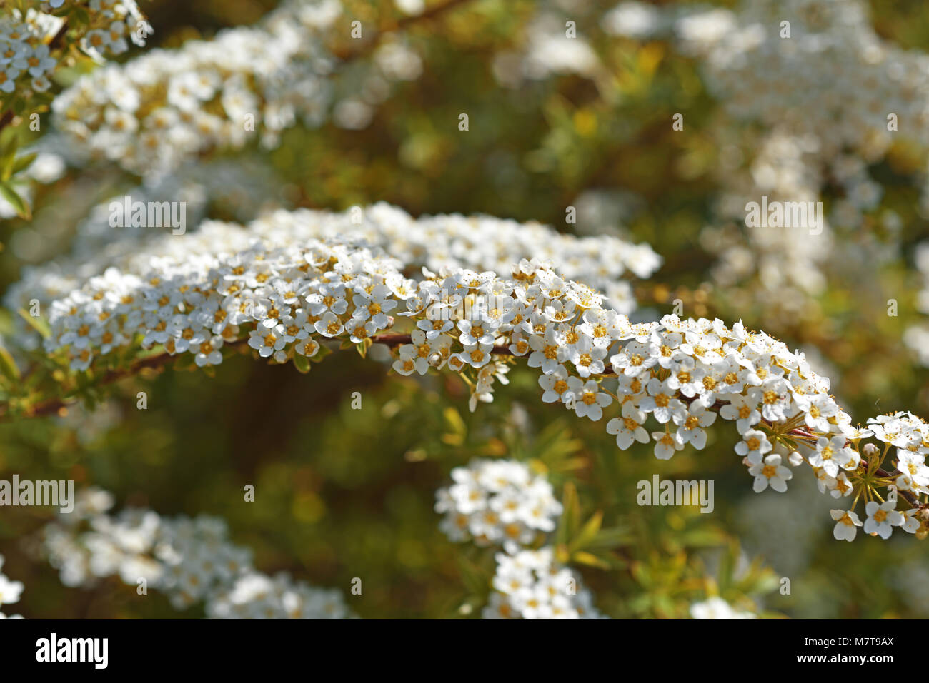 Bush with little white flowers gallery flower decoration ideas bush with little white flowers gallery flower decoration ideas bush with little white flowers gallery flower mightylinksfo Images