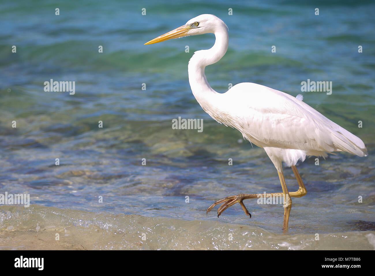 white egret, heron, bird crane playing hunting in the surf of sunset key. - Stock Image